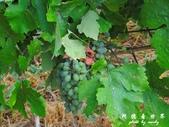 Badacsony葡萄園:1576022085.jpg