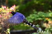 2013前山公園藍鵲:1308876455.jpg