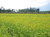 花蓮-富里鄉-油菜花:1733894244.jpg