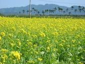 花蓮-富里鄉-油菜花:1733894233.jpg