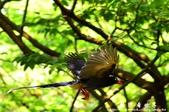 2013前山公園藍鵲:1308876445.jpg