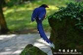 2013前山公園藍鵲:1308876462.jpg