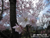 2011陽明山花季:1481334696.jpg