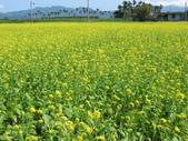 花蓮-富里鄉-油菜花:1733894236.jpg