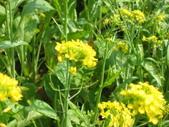 花蓮-富里鄉-油菜花:1733894239.jpg
