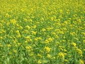 花蓮-富里鄉-油菜花:1733894242.jpg