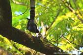 2013前山公園藍鵲:1308876452.jpg