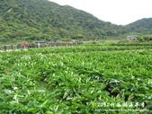 2012竹子湖海芋季:1226754833.jpg