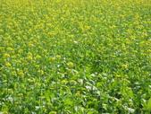花蓮-富里鄉-油菜花:1733894245.jpg