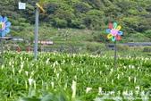 2012竹子湖海芋季:1226754839.jpg