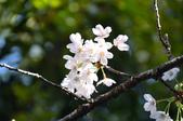 2012_阿里山櫻花季:DSC_8202.jpg