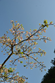 2012_阿里山櫻花季:DSC_8228.jpg