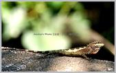 台北:斯文豪氏攀木蜥蜴IMG_5714丹鳳山.jpg