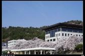 韓國櫻花:韓國206.jpg