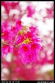 20120219 新社櫻花:新社櫻花012.jpg