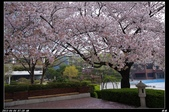 韓國櫻花:韓國210.jpg