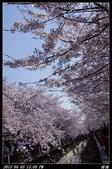 韓國櫻花:韓國129.jpg