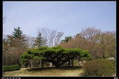 韓國櫻花:韓國212.jpg