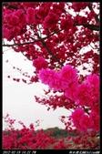 20120219 新社櫻花:新社櫻花021.jpg