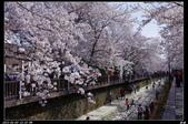 韓國櫻花:韓國133.jpg