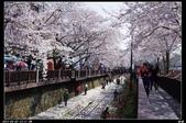 韓國櫻花:韓國137.jpg