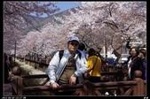 韓國櫻花:韓國143.jpg