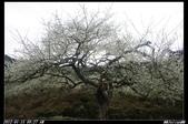20120115 烏松崙梅花:烏松崙13.jpg