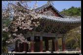 韓國櫻花:韓國235.jpg