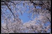 韓國櫻花:韓國112.jpg