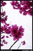 20120219 新社櫻花:新社櫻花009.jpg