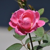 玫瑰花:相簿封面