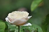 玫瑰花:雅聞七里香玫瑰森林