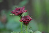玫瑰花:DSC_0647-1.jpg