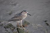鳥類:20100714十分淡水