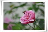 玫瑰花:DSC_0394.jpg