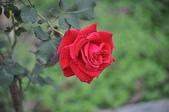 玫瑰花:DSC_0371.jpg