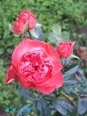 玫瑰花:1156231612_x.jpg