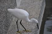 鳥類:DSC_0025-1
