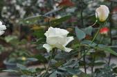 玫瑰花:DSC_0059.jpg