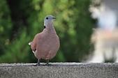 鳥類:DSC_0247.jpg