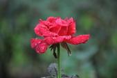 玫瑰花:DSC_0648-1.jpg