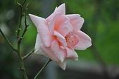 玫瑰花:DSC_0404.jpg