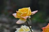 玫瑰花:DSC_0050.jpg