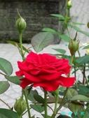 玫瑰花:1125147473.jpg