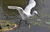 鳥類:DSC_0010