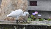 鳥類:DSC_0036-1