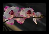 蝴蝶蘭+鬱金香: