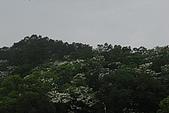 我也拍到油桐花: