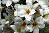 我也拍到油桐花:花語>花雨