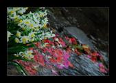 2013-陽明山花季: